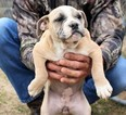 Olde English Bulldogge Puppy For Sale in YANTIS, TX