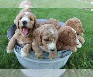 Goldendoodle Puppy for Sale in NORWALK, Wisconsin USA