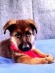 German Shepherd Dog Puppy For Sale in LOUISBURG, NC, USA