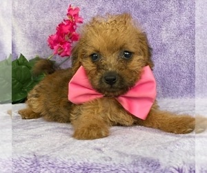 Jack-A-Poo Puppy for sale in LANCASTER, PA, USA