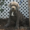 Cane Corso Puppy For Sale in GAP, PA,