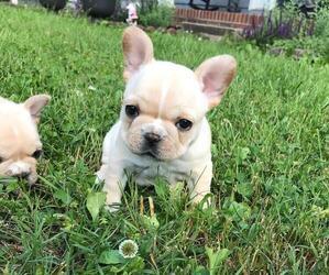 French Bulldog Puppy for sale in CONCORD, TN, USA