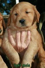 Golden Retriever Puppy For Sale in ATASCADERO, CA, USA
