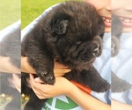 BlackJack Knox Male Chow Pup
