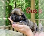 Mal-Shi-Shih Tzu Mix Puppy For Sale in BUFORD, GA, USA