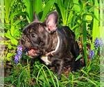 Small #23 French Bulldog