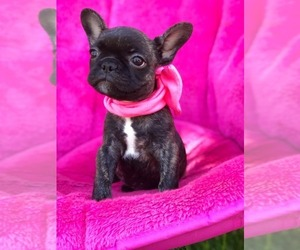French Bulldog Puppy for Sale in COLCHESTER, Connecticut USA
