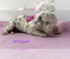 Great Dane Puppy for sale in KERENS, TX, USA