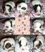 Australian Cattle Dog Puppy For Sale in BLACKFOOT, ID, USA