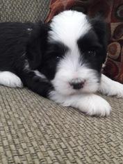 Coton de Tulear Puppy For Sale in SALT LAKE CITY, UT