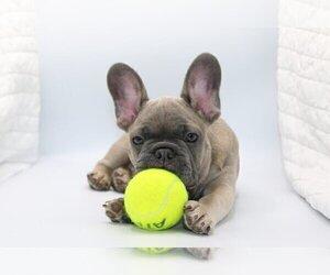 French Bulldog Puppy for sale in HOCKESSIN, DE, USA