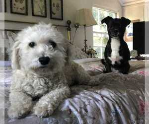 Maltipoo-Poodle (Toy) Mix Dog for Adoption in LA JOLLA, California USA