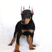 Doberman Pinscher Puppy For Sale in GAP, PA, USA