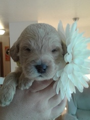 Labradoodle Puppy For Sale in CRESTON, MT, USA