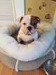 Bulldog Puppy For Sale in MELROSE, MA,