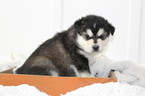 Alaskan Malamute Puppy For Sale in ANNIS, ID, USA