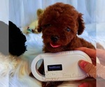 Small #4 Poodle (Toy)