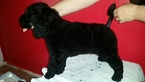 Poodle (Standard) Puppy For Sale in SANFORD, North Carolina,