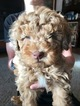 Aussiedoodle-Poodle (Miniature) Mix Puppy For Sale in PARAGONAH, UT, USA