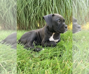 Boxer Puppy for Sale in MILLERSBURG, Ohio USA