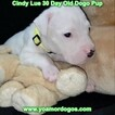 Small Photo #55 Dogo Argentino Puppy For Sale in PINEVILLE, MO, USA
