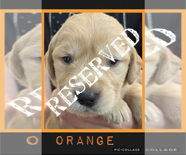 Medium Photo #6 Golden Retriever Puppy For Sale in TEMPLE, TX, USA