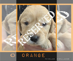 Small Photo #6 Golden Retriever Puppy For Sale in TEMPLE, TX, USA