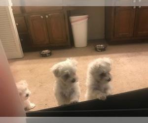 Maltese Puppy for Sale in LAWRENCEVILLE, Georgia USA