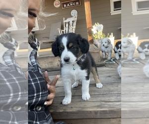 Miniature Australian Shepherd Puppy for sale in PENNGROVE, CA, USA