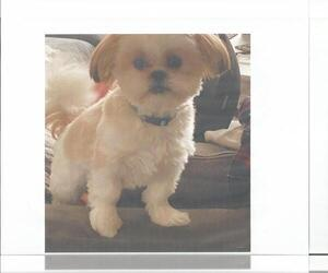 Shih Tzu Puppy for sale in BRENTWOOD, MO, USA
