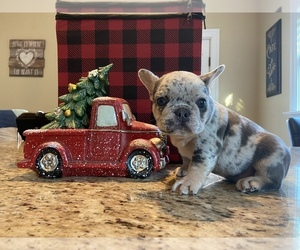 French Bulldog Puppy for sale in LANDISVILLE, PA, USA