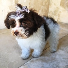 Cami the Havanese Puppy