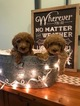 Goldendoodle (Miniature) Puppy For Sale in ALEXANDRIA, IN, USA