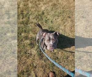 American Bully Puppy for sale in NORTH VERNON, IN, USA