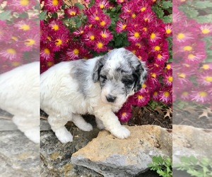 Aussie-Poo-F2 Aussiedoodle Mix Dog for Adoption in MBORO, Tennessee USA
