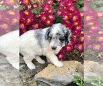 Small Aussie-Poo-F2 Aussiedoodle Mix