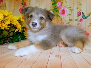 Australian Shepherd Puppy For Sale in HAMMOND, IN, USA