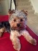 Yorkshire Terrier Puppy For Sale in GROVETOWN, GA, USA