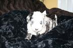 CKC Merle Aussiedoodle Puppies