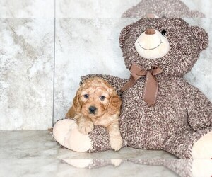 Goldendoodle (Miniature) Puppy for sale in CLEVELAND, NC, USA