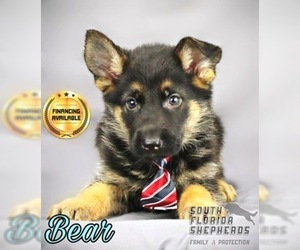 German Shepherd Dog Puppy for Sale in MIAMI, Florida USA