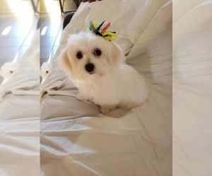 Maltese Puppy for Sale in NORTH PORT, Florida USA