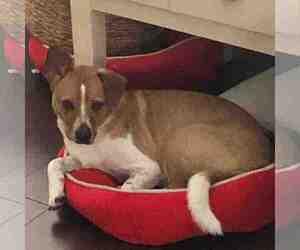 Cardigan Welsh Corgi Dog for Adoption in HILSHIRE VILLAGE, Texas USA