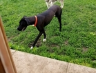 Great Dane Puppy For Sale in ESSEX, IA, USA