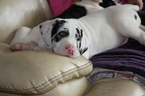Great Dane Puppy For Sale in LAKE ELSINORE, CA
