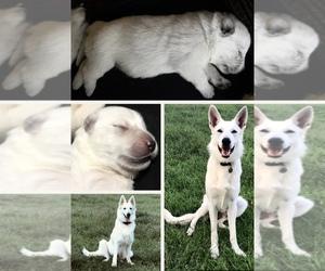 German Shepherd Dog Puppy for sale in CENTURY, FL, USA