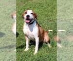Small #98 Beagle Mix