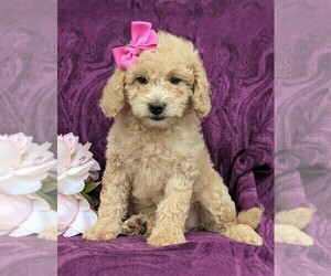 Goldendoodle-Poodle (Miniature) Mix Puppy for sale in OXFORD, PA, USA