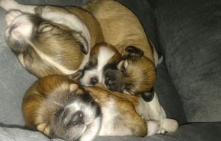 Havallon Puppy For Sale in DULUTH, GA, USA