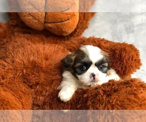 Shih Tzu Puppy for sale in AMITY, NC, USA